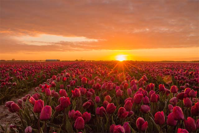 tulpen14