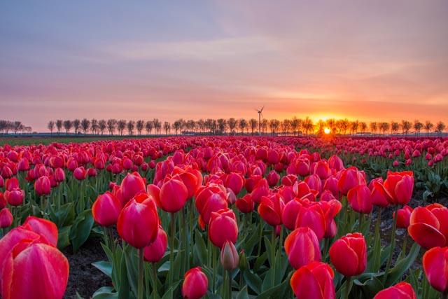 tulpen15